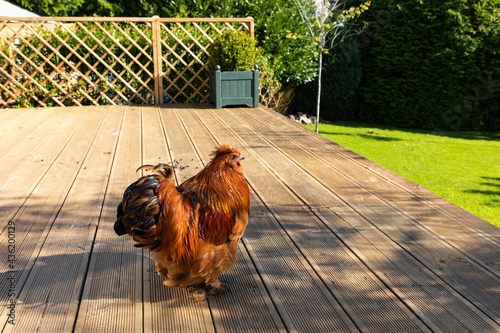 Canvas Print Pekin Bantam Rooster standing proud in a country garden