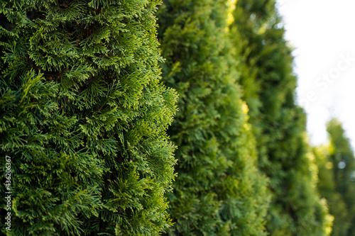 Fotografiet Green hedge of thuja trees