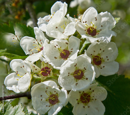 Fotografie, Obraz Flowers of hawthorn