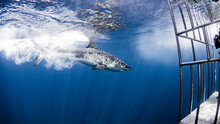 Great White Shark And Cage