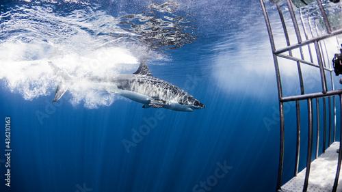Fotografija Great white shark and cage