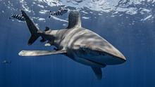 Oceanic Whitetip Shark Swimming Underwater