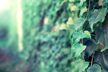 Close Up View Of Green Vine Leaves With A Blurred Space.