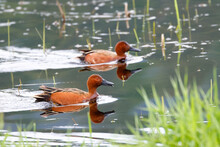 Two Cinnamon Teal In The Water.
