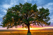 Dramatic View Of A Lonely Secular Oak At Sunset, Just Before The Blue Hour, With The Sun Behind The Trunk Scattering Its Rays Among The Branches And The Blue Sky Full Of Clouds.