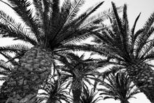 Black Palms And White Sky