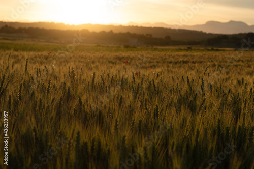 Sunset landscape in a cereal field with golden ears of corn and a dramatic cloudy sky Fotobehang
