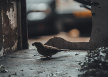 A Small Sparrow Picking Leaves