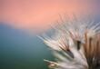 Close up of a dry dandelion
