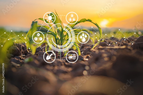 Canvas Print Maize seedling in cultivated agricultural field with graphic concepts modern agr