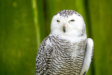 A Frontal Portrait Of A Passive Snowy Owl With Sleepy Yellow Eyes