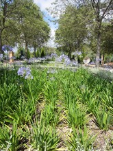 Flower Bed Of African Lilies In Flower