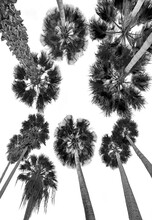 Black And White Palms Isolated On White