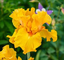 A Closeup Image Of A Yellow Iris Flower