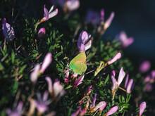 Green Hairstreak (Callophrys Rubi) Butterfly Resting On Purple F