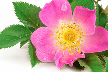 Wild Rose (Rosa Canina) With Simple, Non-double Flowers And Dew Drops On The Petals, Close-up, Macro.