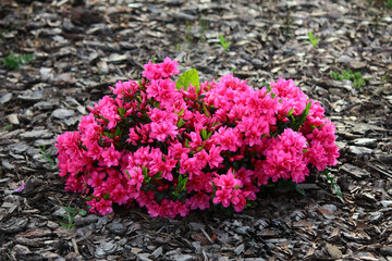 Różowe kwiaty różanecznika odmiany