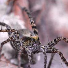 Macro Of Wolf Spider