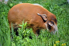 """The Red River Hog Also Known As The Bush Pig (but Not To Be Confused With P. Larvatus, Common Name """"bushpig""""), Is A Wild Member Of The Pig Family Living In Africa"""