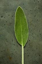 Closeup Of Sage Leaf