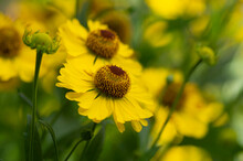 Helenium Autumnale Common Sneezeweed In Bloom, Bunch Of Yellow Flowering Flowers, High Shrub With Leaves