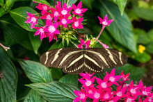 Zebra Longwing Butterfly (Heliconius Charithonia) Among Red Flowers