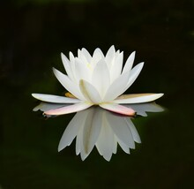 Close Up Of A Beautiful Water Lilly Blossom Reflection Along The Swamp Island Drive In The Blackwater Of Okenfenokee National Wildlife Refuge In Southern Georgia