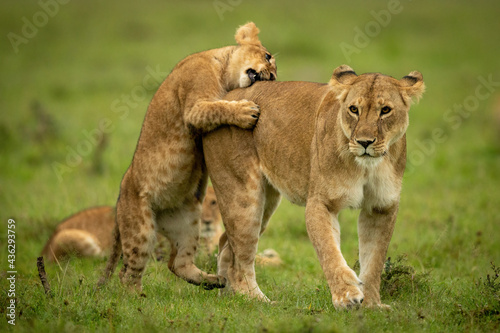 Obraz na plátne Cub stands on hind legs nibbling lioness