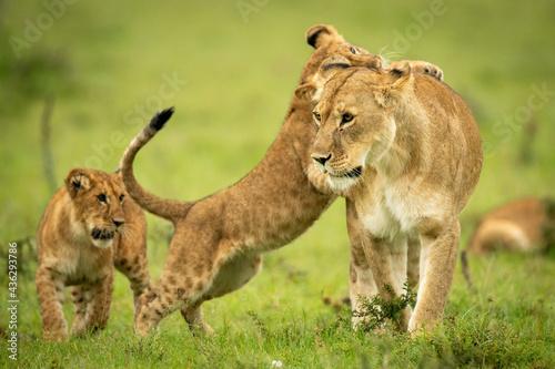 Fototapeta Cub leans on lioness on hind legs