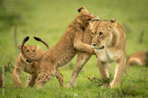 Canvas-taulu Cub leaning on lioness on hind legs