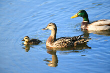 Wild Duck Family In The Water