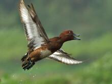 Ferruginous Pochard Bird In A Lake