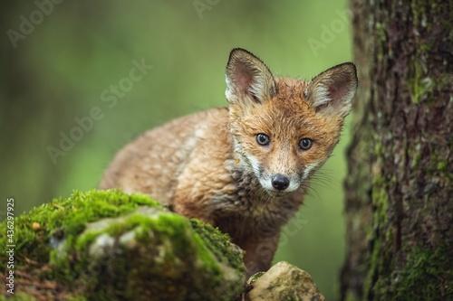 Foto Fox in forest