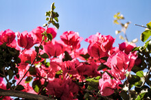 Closeup Of Blooming Red Bougainvillea Flowers In A Garden Under The Sunlight