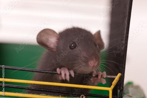 Obraz na plátně domestic baby rat