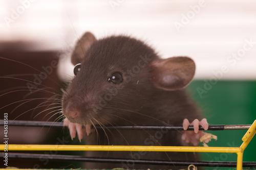 Fototapeta baby rat close up