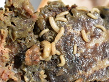 Maggots Fly Larvae Decompose Crawling In Rotten Meat