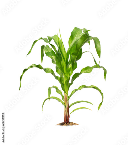 Fotografia, Obraz Corn plant isolated on a white background with clipping paths for garden design