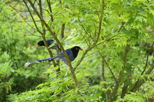 """The Taiwan Blue Magpie, Also Called The Taiwan Magpie, Formosan Blue Magpie, Or The """"long-tailed Mountain Lady"""", Is A Species Of Bird Of The Crow Family. It Is Endemic To Taiwan."""