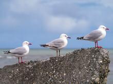 Three Seagulls On A Rock