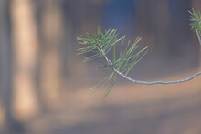 Closeup Of A Conifer Needles On A Blurr