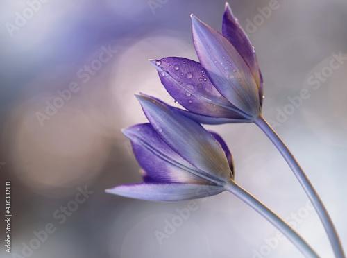 Kwiaty Tulipany botaniczne