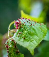 Lindenblatt Mit Roten Beutelgallen Der Lindengallmilbe (Eriophyes Tilia)