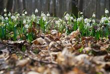 Märzenbecher, Frühlings-Knotenblume, Leucojum Vernum