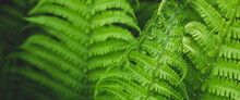 Forest Fern In Sunlight After Rain. Can Be Used As Background Or Wallpaper. Banner