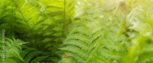 Stampa su Tela Forest fern in sunlight after rain