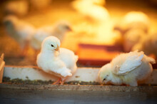 A Fluffy Little Yellow Chick Is Standing In A Chicks Feeder