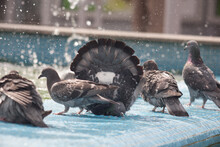 A Pigeon Bathes In A Fountain On A Hot Day