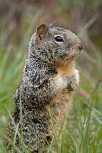Vertical Shot Of A Cute California Ground Squirrel
