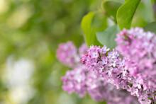 Umbels Of Pink Lilac Blossoms (Syringa Vulgaris). Light Green Bokeh In Background.